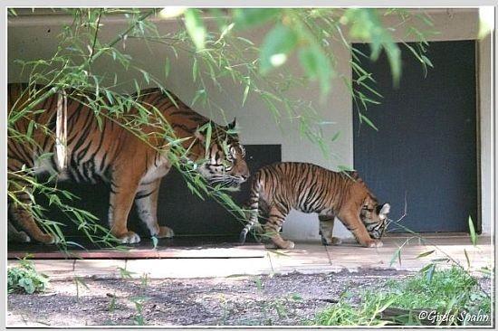Sumatratiger DUMAI mit einem ihrer 3 Jungtiere