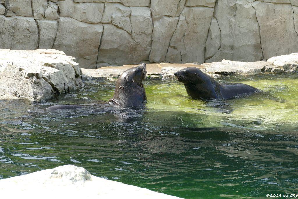 Südafrikanischer Seebär (Zwergseebär, Kap-Seebär)