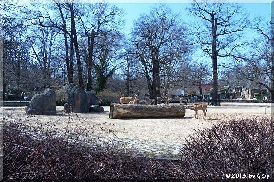 Böhm-Steppenzebra und Elenantilope