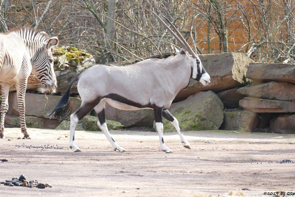 Grévy-Zebra, Südliche Oryx (Südafrikanischer Spießbock, Südafrikanische Oryx)