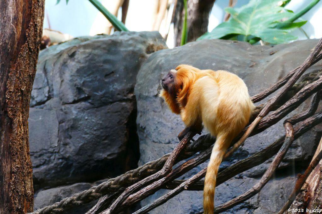 Goldgelbes Löwenäffchen (Goldgelber Löwenaffe)