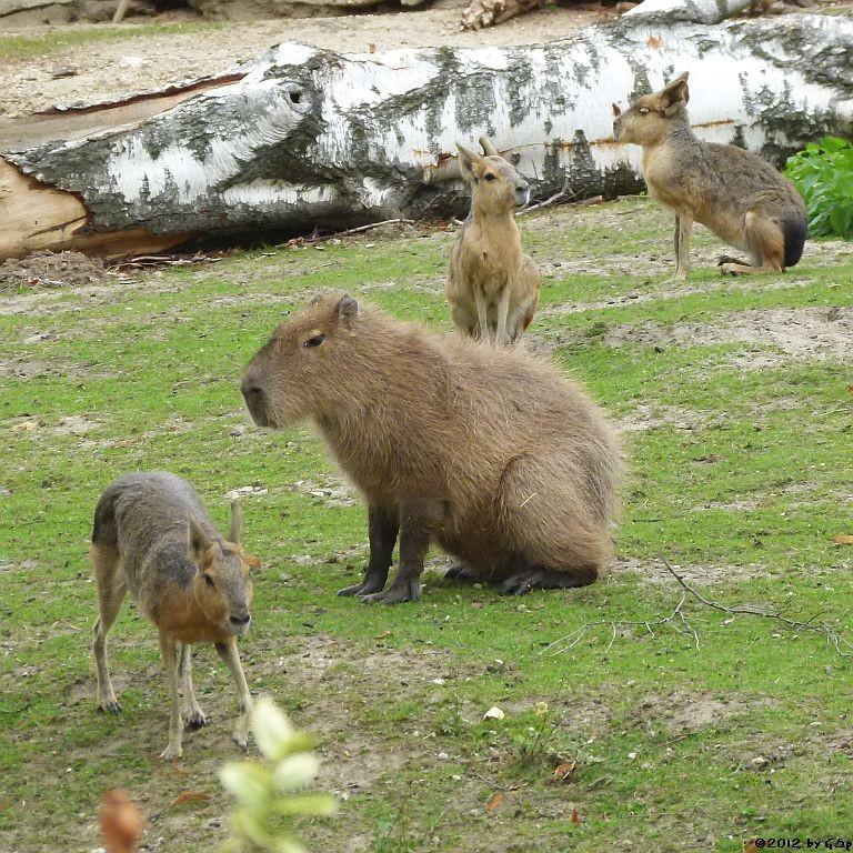 Mara, Capybara