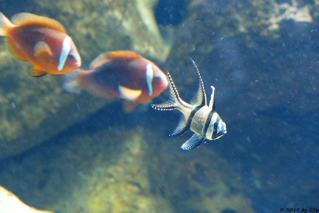 Schwarzflossen-Anemonenfisch, Banggai Kardinalfisch