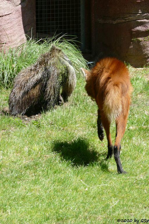 Großer Ameisenbär, Mähnenwolf