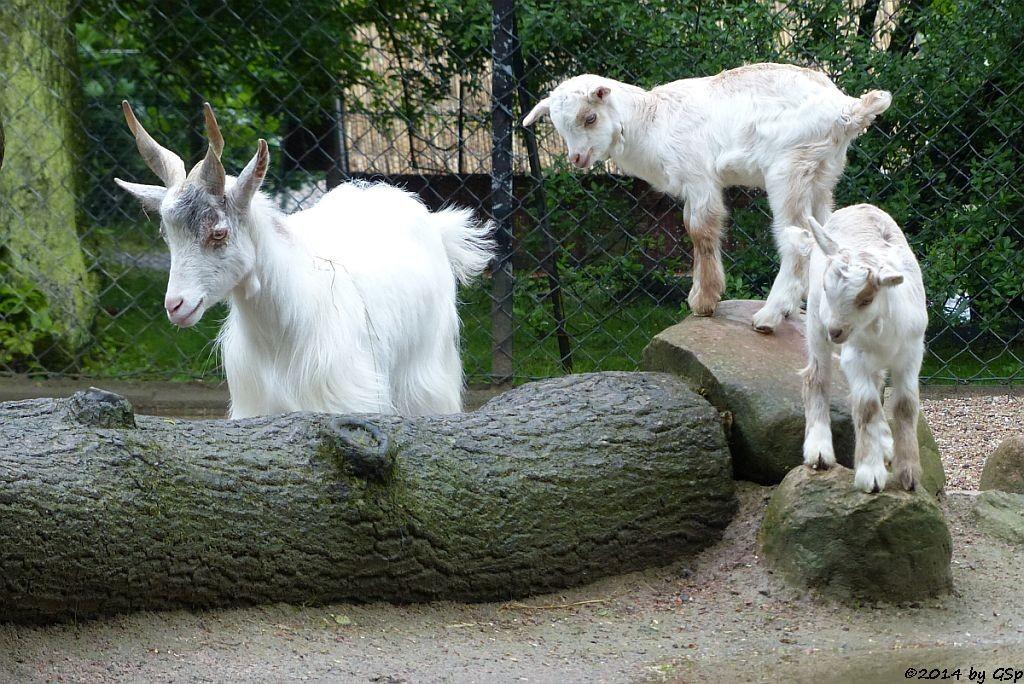 Girgentana-Ziege, Jungtiere geb. am 27.04.14