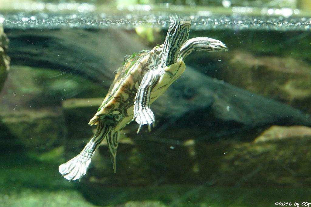 (Gelbflecken-) Zwerghöckerschildkröte