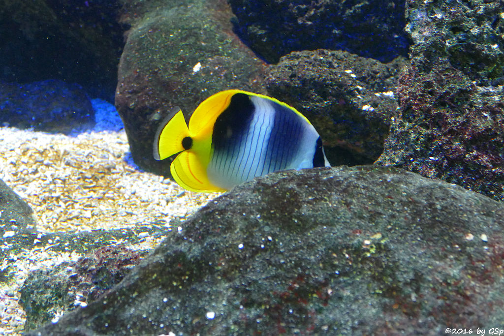 Keilfleck-Falterfisch