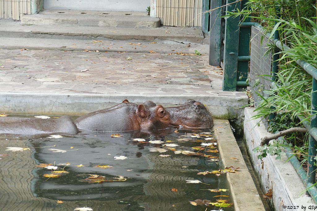 Flusspferd PETRA