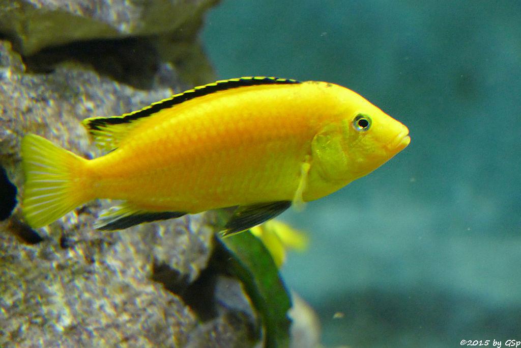 Gelber Spitzkopf-Maulbrüter (Dottergelber Malawibarsch, Zitronencichlide, Goldener Buntbarsch)