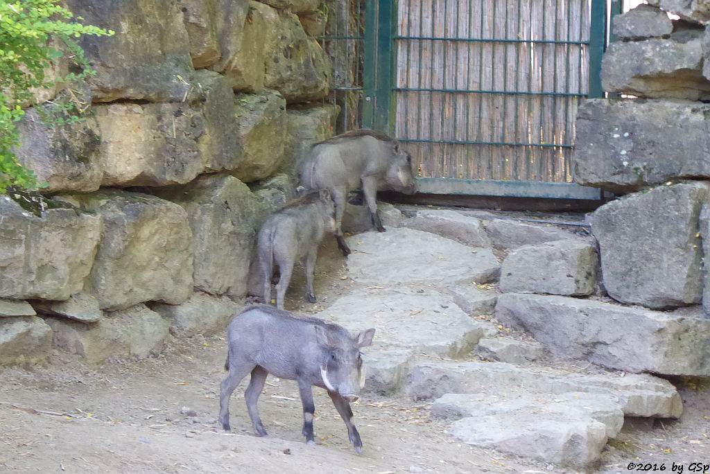 Warzenschwein, geb. am 5.5.16