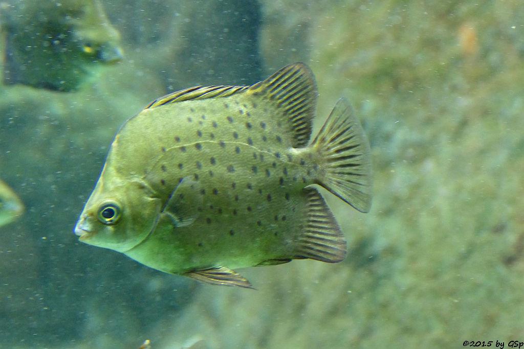 Rotstirn-Argusfisch