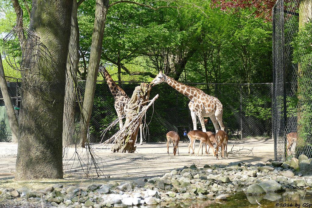 Rothschildgiraffe (Uganda-Giraffe, Baringo-Giraffe), Impala