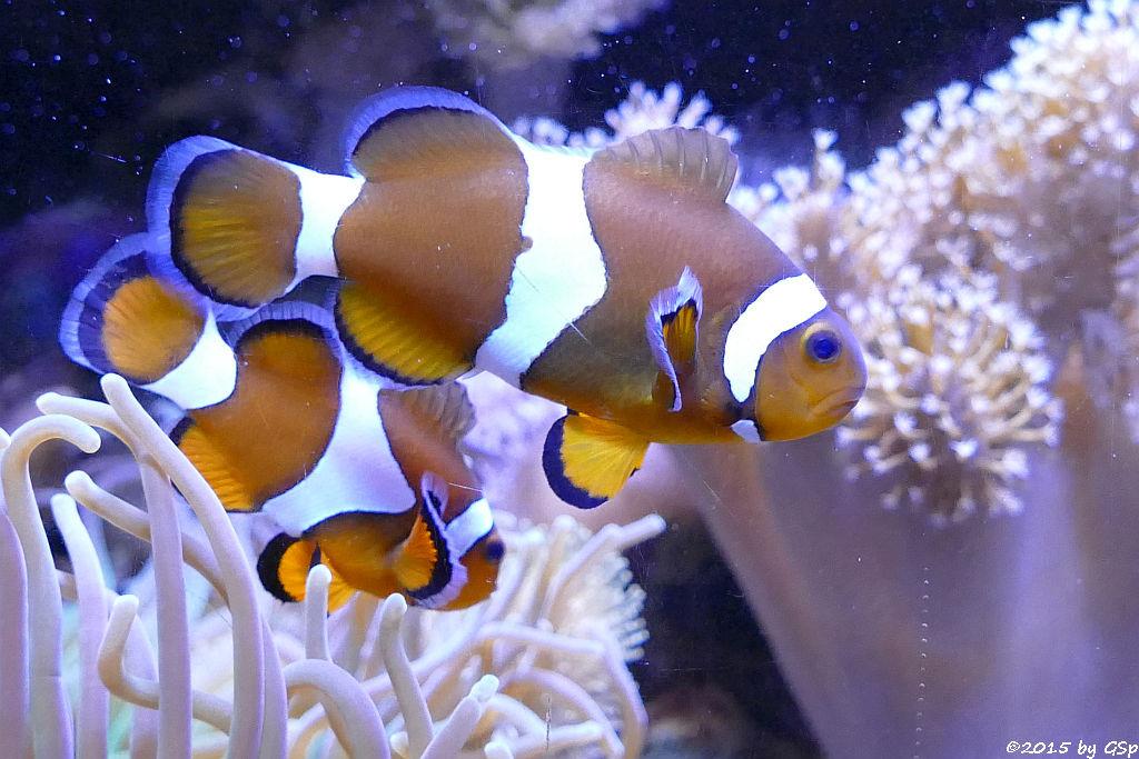 Orange-Ringel-Anemonenfisch (Westl. Clownfisch)