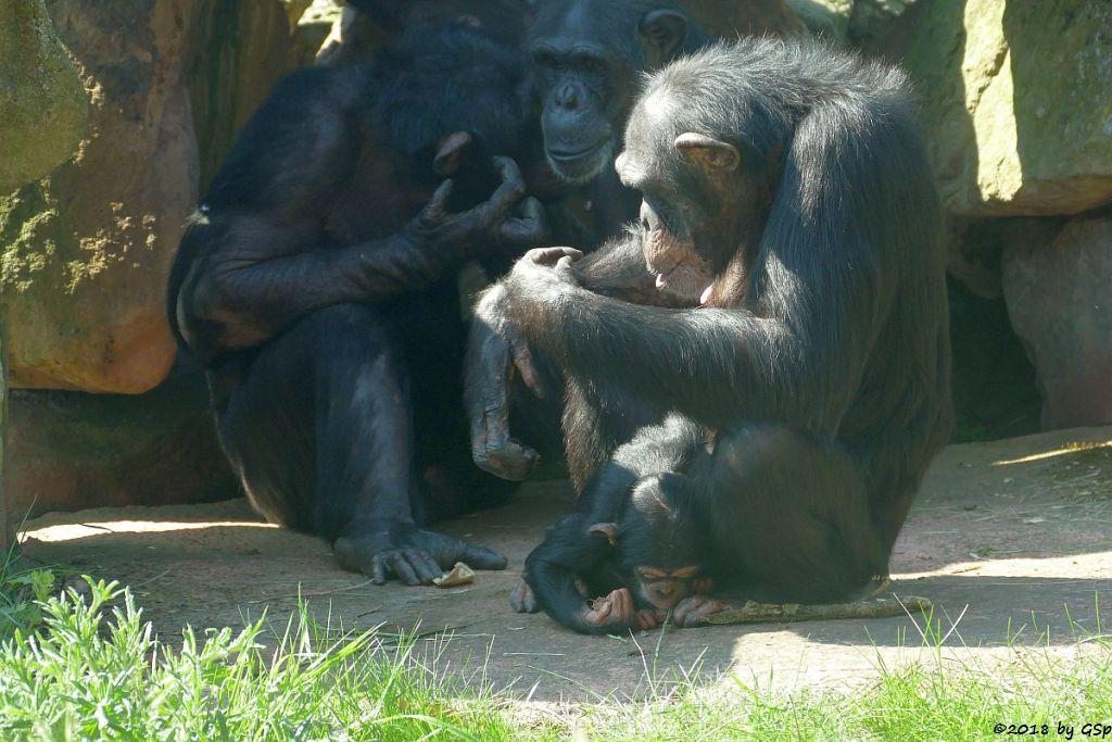Westafrikanischer Schimpanse