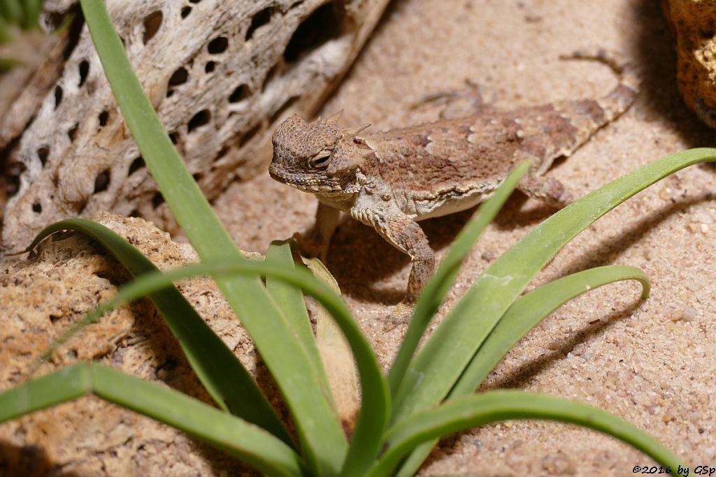 Wüstenkrötenechse