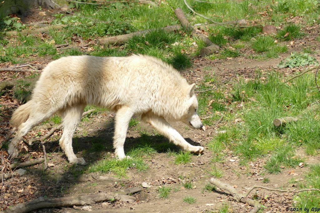 Hudson-Bay-Wolf