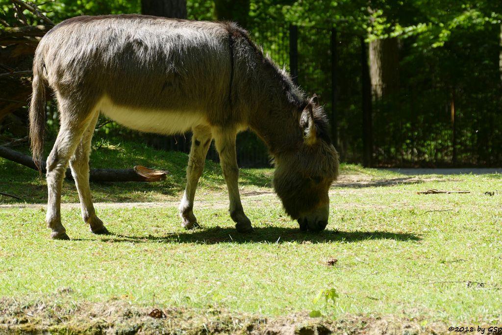 Sardinischer Zwergesel (Equus asinus)