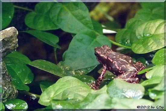 Cayenne Stummelfußkröte
