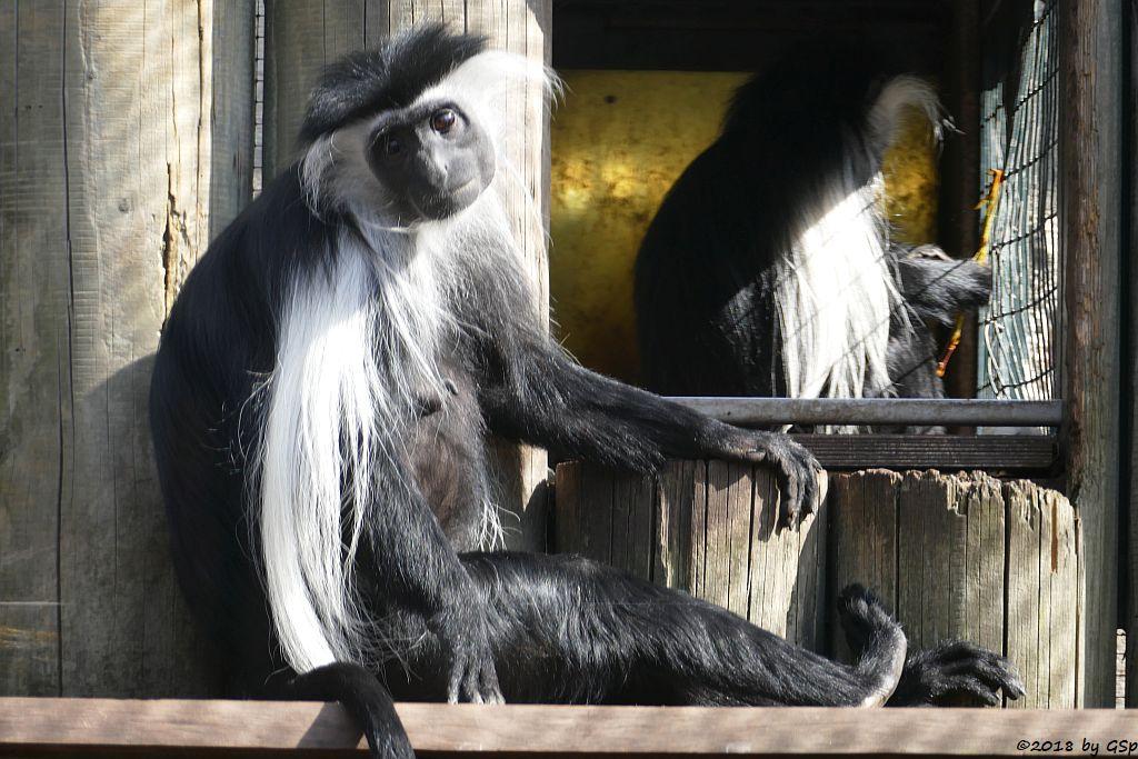 Tansania-Stummelaffe (Peters Angola-Guereza)