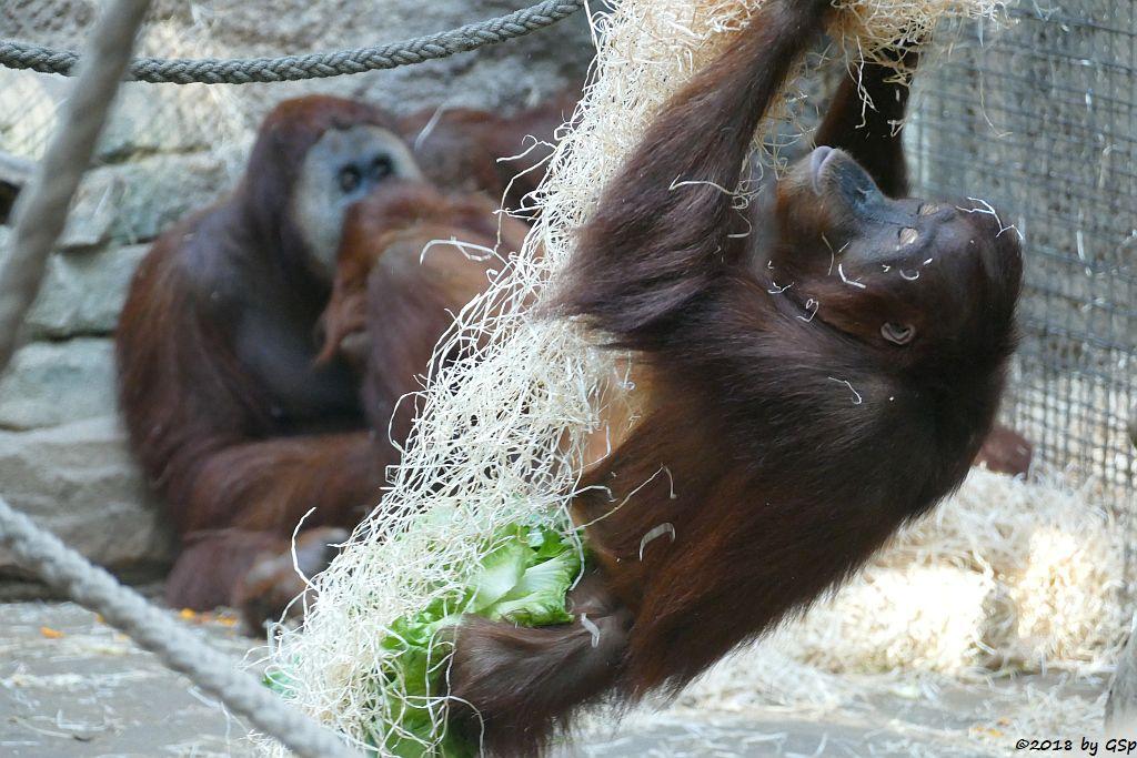 Sumatra-Orang-Utan KEMBALI, SAYANG, INDAH