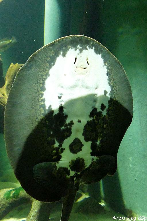 Genetzter Süßwasser-Stechrochen (Potamotrygon reticulatus)
