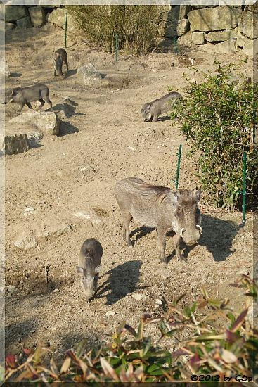 Warzenschwein mit Jungtieren, geb. 12.12.11