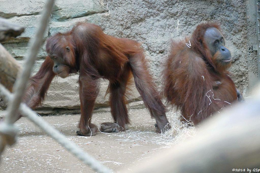 Sumatra-Orang-Utan INDAH und ROSA