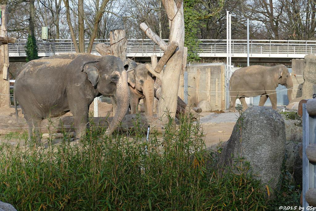 Asiatischer Elefant RANI, SHANTI und JENNY