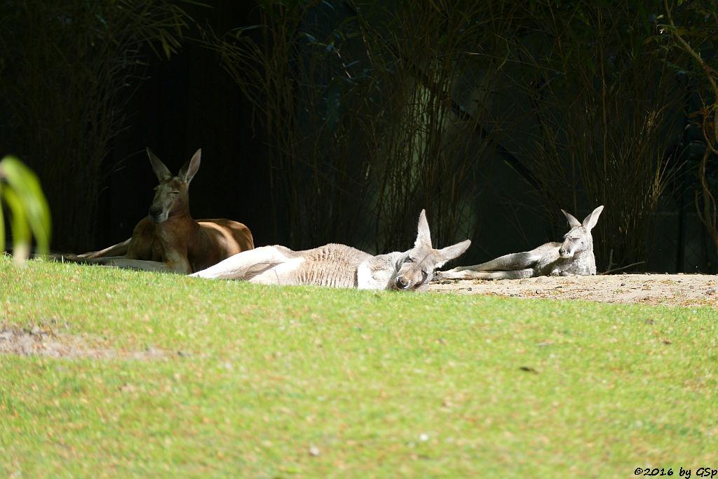 Rotes Riesenkänguru