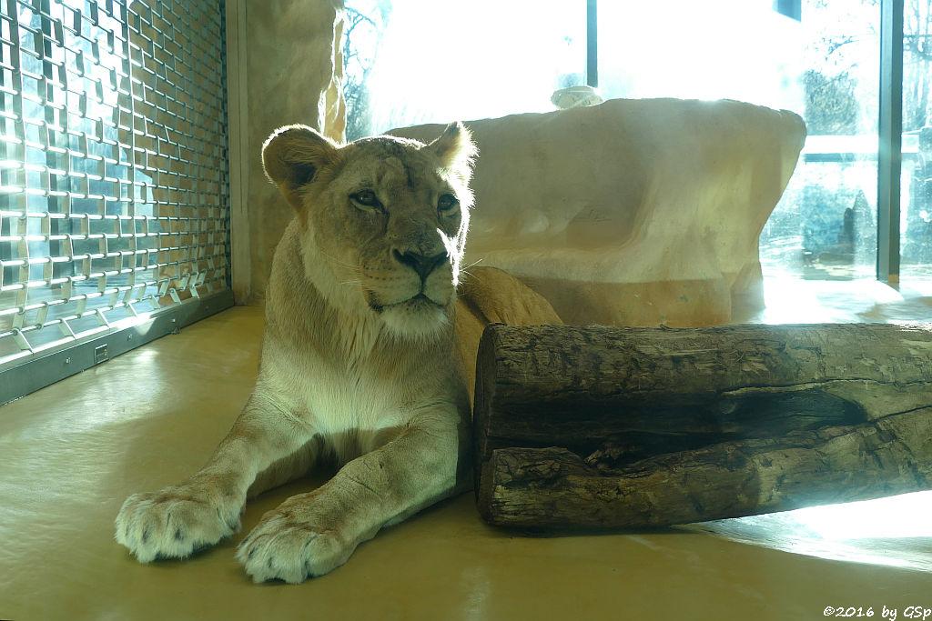 Angola-Löwe (Katanga-Löwe)