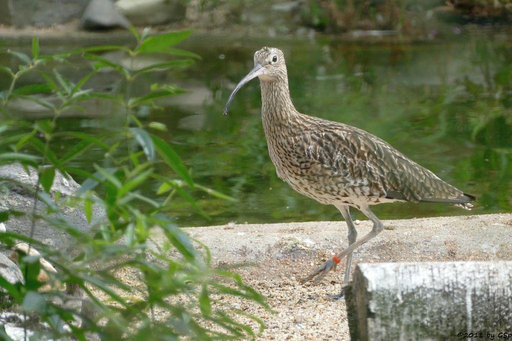 Brachvogel (Großer Brachvogel)