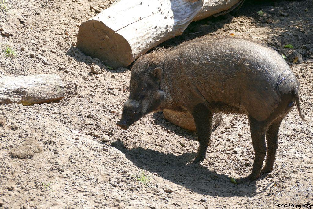 Negros-Pustelschwein (Visayas-Pustelschwein, Visayas-Mähnenschwein)