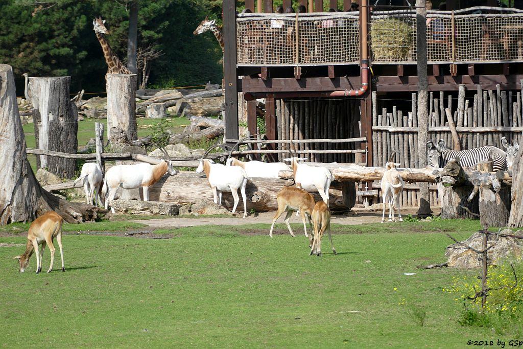 Weißnacken-Moorantilope (Mrs. Grays Wasserbock), Säbelantilope, Grévy-Zebra, Rothschildgiraffe (Uganda-Giraffe, Baringo-Giraffe)