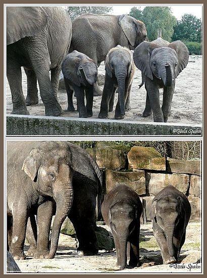 Elefanten  die Fotos der afrikanischen und asiatischen Elefanten in sep. Galerie