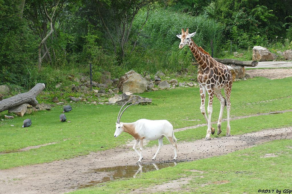 Helmperlhuhn, Säbelantilope, Rothschildgiraffe (Uganda-Giraffe, Baringo-Giraffe)