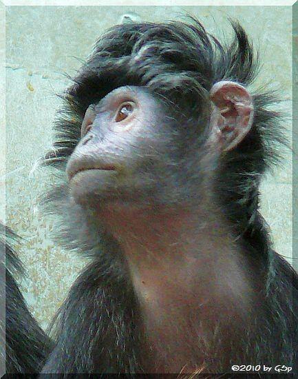 Haubenlangur (Javanischer Kappenlangur)