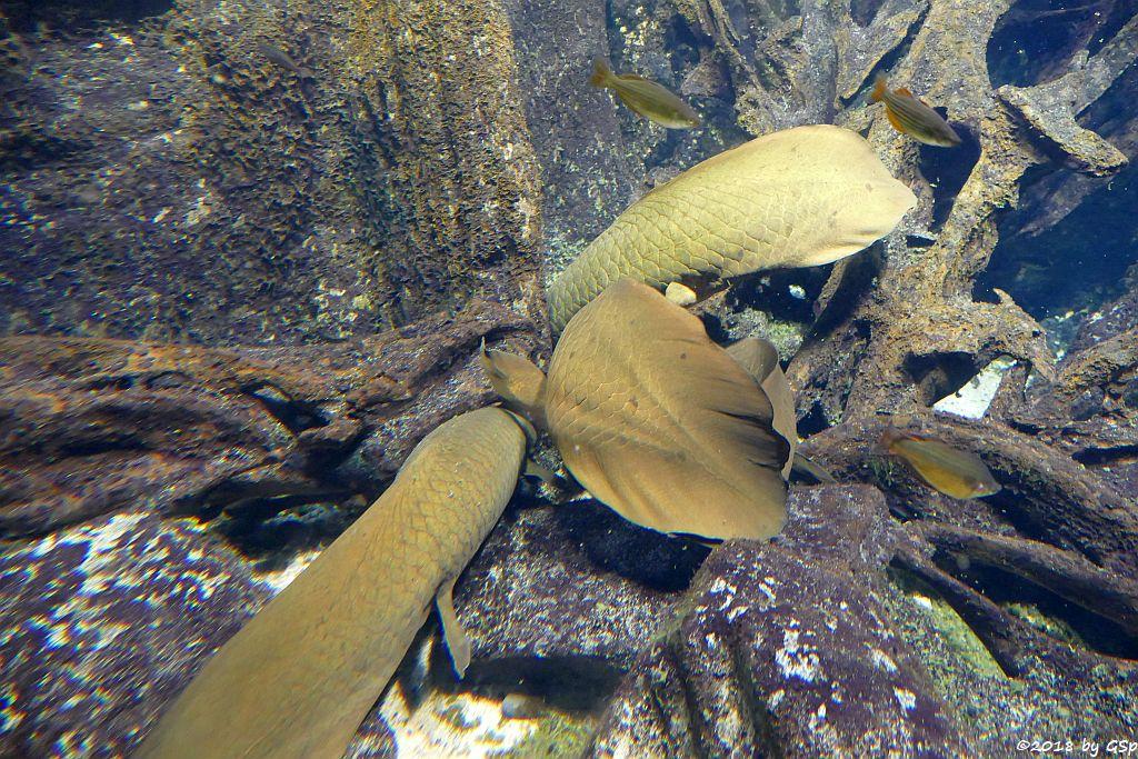 Australischer Lungenfisch