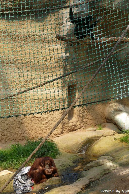 Borneo-Orang-Utan, Weißhandgibbon