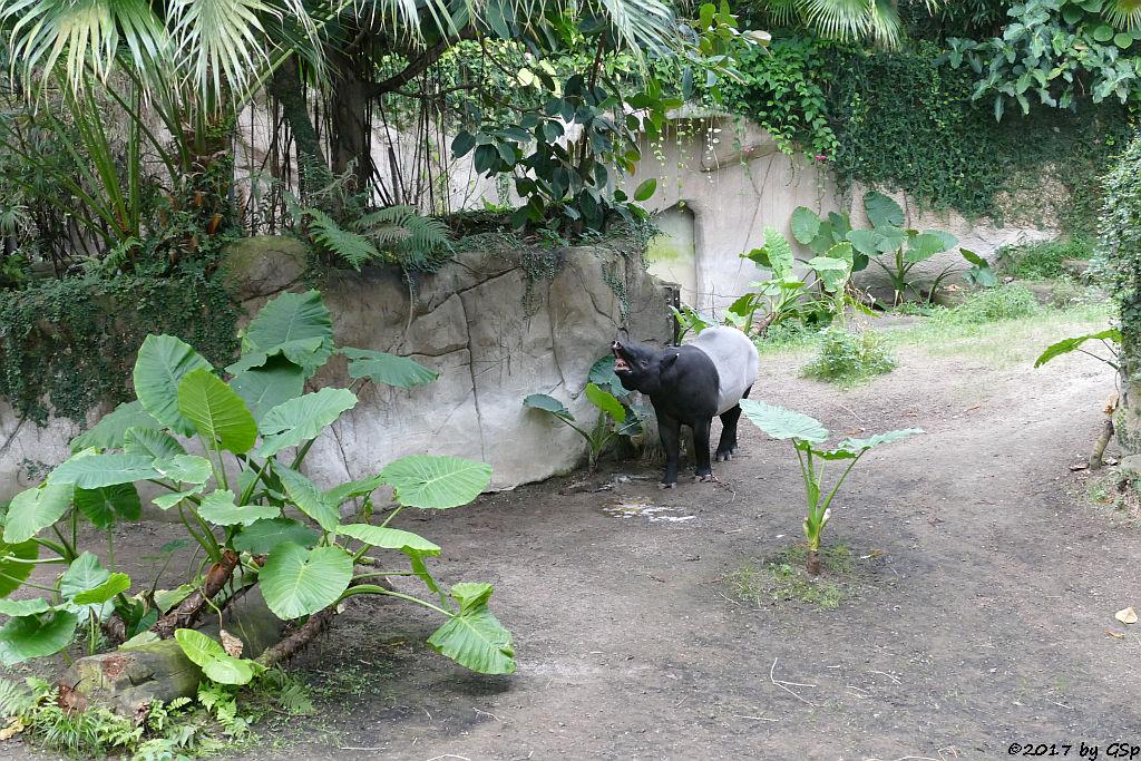 Schabrackentapir (Malaysischer Tapir) COPASIH