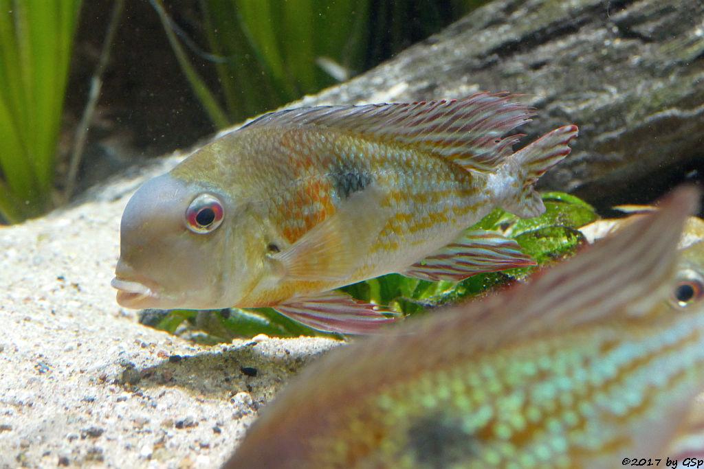 Surinam-Perlfisch (Erdresser)
