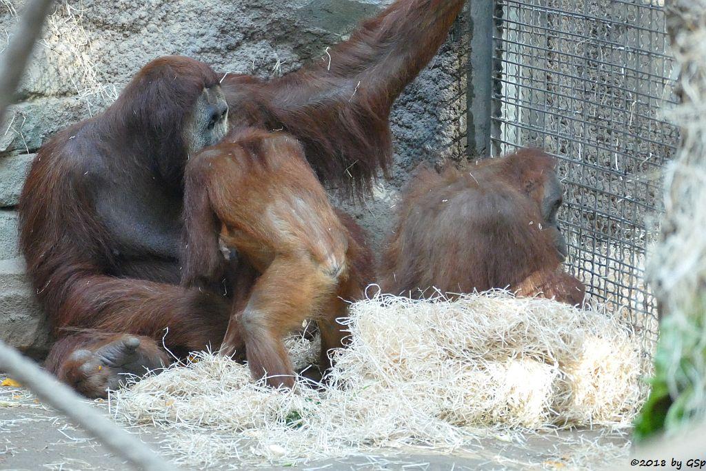 Sumatra-Orang-Utan KEMBALI, SAYANG und ROSA