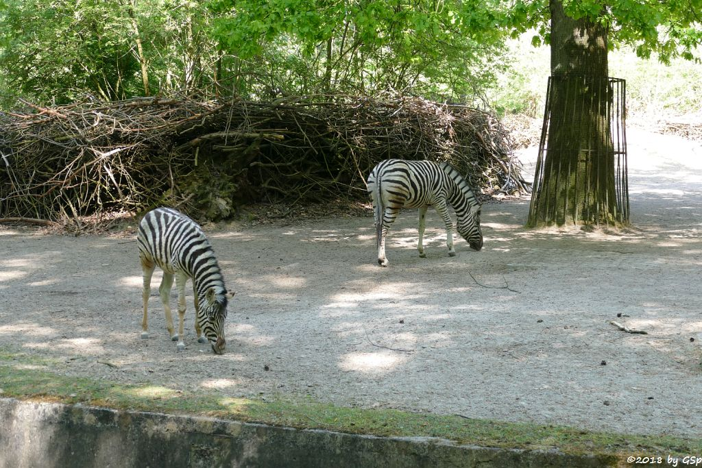 Burchell-Steppenzebra (Damara-Steppenzebra)