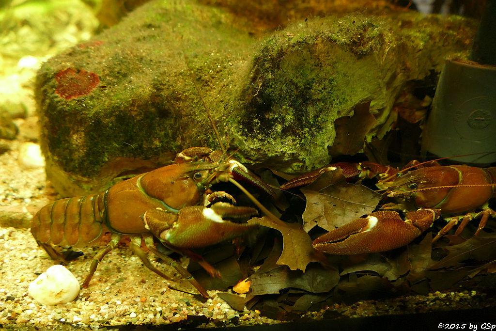 Edelkrebs (Europäischer Flusskrebs)