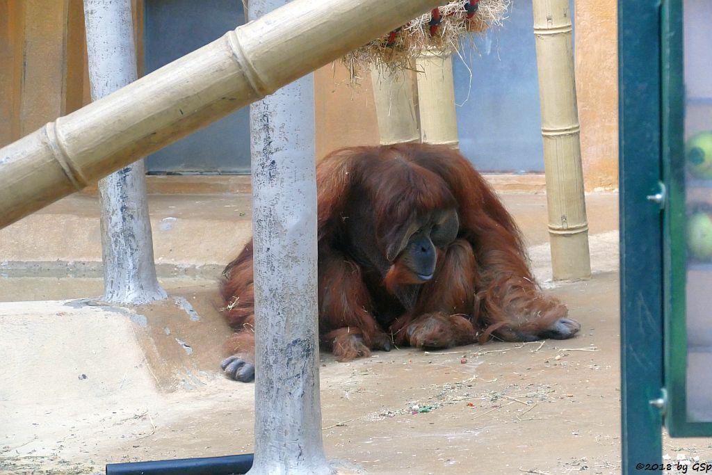 Sumatra-Orang-Utan JAMBI