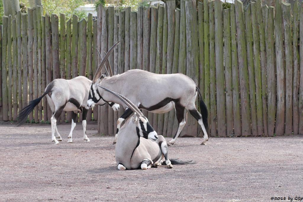 Südliche Oryx (Südafrikanischer Spießbock, Südafrikanische Orys)
