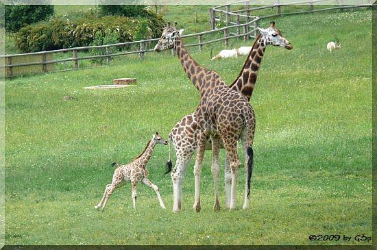 Rothschild-Giraffe, Säbelantilope