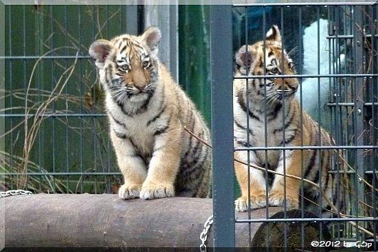 Sibirische Tiger JEGOR und MILA