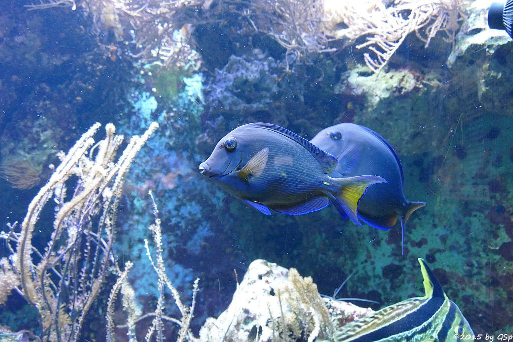 Blauer Doktorfisch