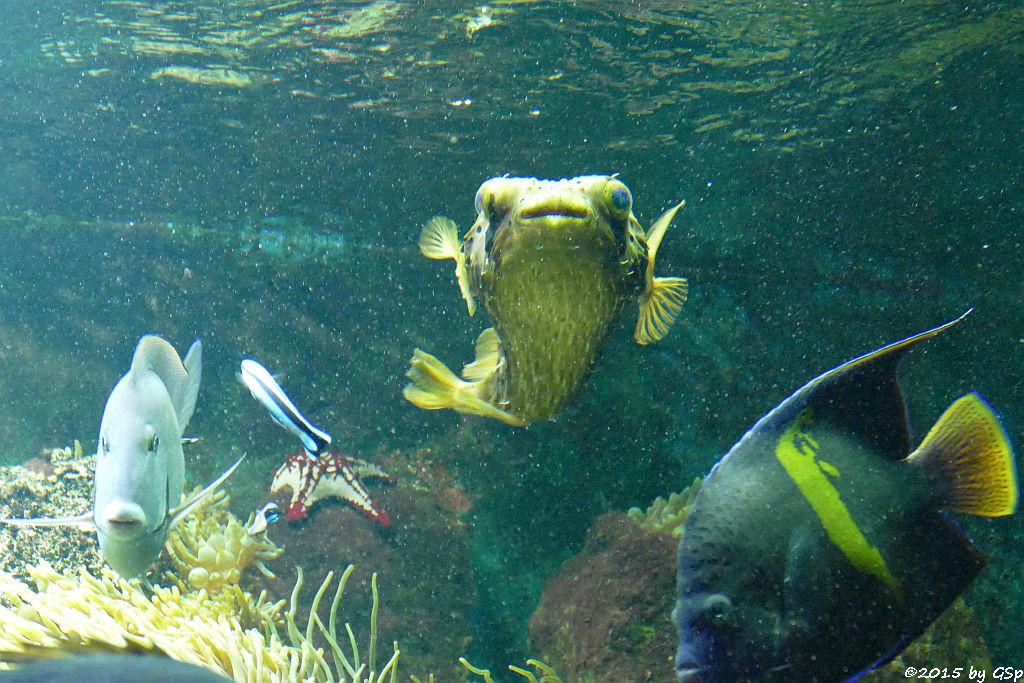Bahia-Dokktorfisch, Lincks Walzenseestern, Braunflecken-Igelfisch, Mondsichel-Kaiserfisch