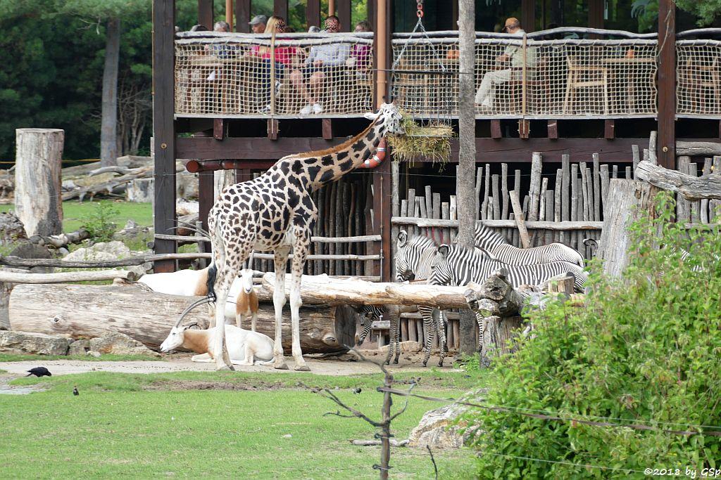 Säbelantilope, Rothschildgiraffe (Uganda-Giraffe, Baringo-Giraffe), Grévy-Zebra